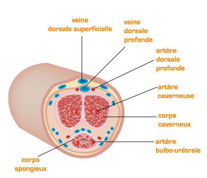 anatomie du pénis