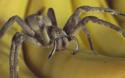 Le gel à base de venin d'araignée : effets et efficacité ?