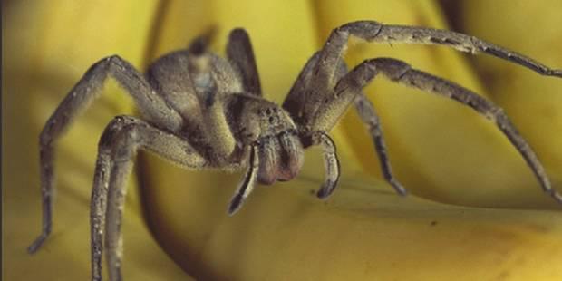 Le gel à base de venin d'araignée banane pour remplacer le viagra